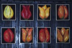 8-tulipaner