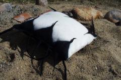 Pude filtet med sort/hvidt uld med vinger.